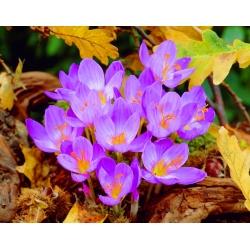 Krokus Jesienny Speciosus - 10 cebulek