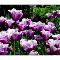Tulipan American Eagle - 5 cebulek