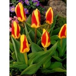 Tulipan Gluck - 5 cebulek