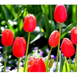 Tulipan Spring Song - opak. 5 szt.