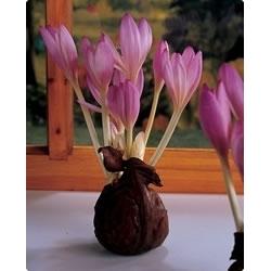 Zimowit Lilac Wonder - piękne liliowe kwiaty - 1 cebula