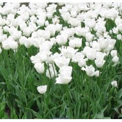 Tulipan Swan Wings - 5 cebulek