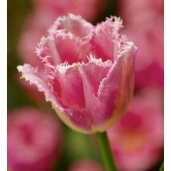 Tulipan Fancy Frills - 5 cebulek