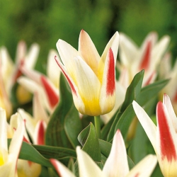 Tulipan Johann Strauss - 5 cebulek