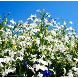 Lobelia biała - 3200 nasion