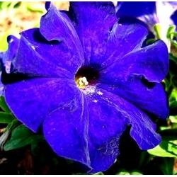 Petunia wielkokwiatowa niebieska - 80 nasion