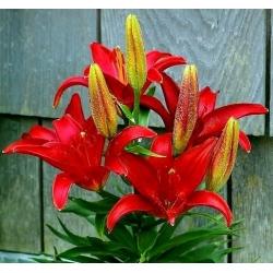 Lilia azjatycka czerwona - Red - 1 cebula