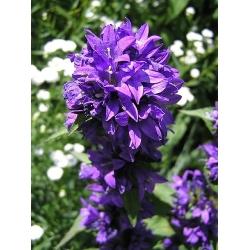 Dzwonek skupiony - niebieski - 2000 nasion