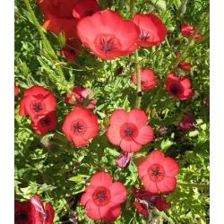 Len wielkokwiatowy - czerwony - 300 nasion