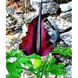 Dracunculus vulgaris - Smocza lilia - 1 cebula