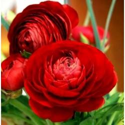 Jaskier azjatycki czerwony  - 10 cebulek