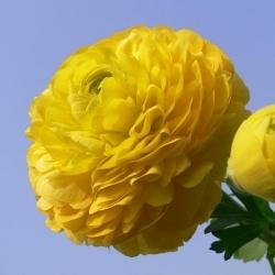 Jaskier azjatycki żółty  - 10 cebulek