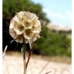 Wdówka gwiaździsta - 25 nasion
