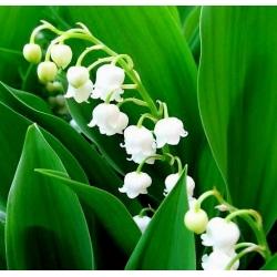 Konwalia majowa o kwiatach białych - 1 kłącze