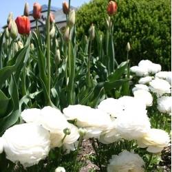 Jaskier azjatycki biały - 10 cebulek