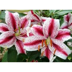 Lilia orientalna Dizzy - 1 cebula