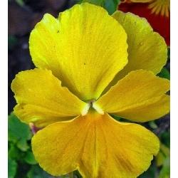 Bratek wielkokwiatowy - żółty - 400 nasion