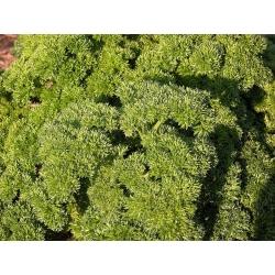 Pietruszka naciowa - Moss Curled - 1200 nasion
