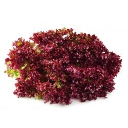Sałata liściowa REDIN - 900 nasion