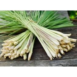Trawa cytrynowa - wyjątkowy smak i aromat! - 400 nasion