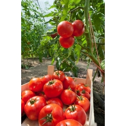 Pomidor Baron - do uprawy pod osłonami - 35 nasion