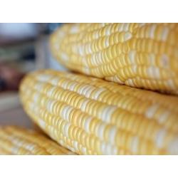 Kukurydza cukrowa Ramondia - 70 nasion