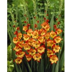 Gladiolus - Mieczyk Princess Margaret Rose - 5 cebulek
