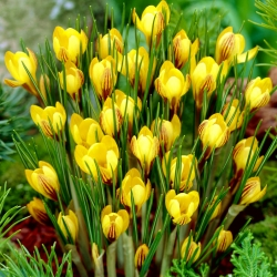 Krokus wiosenny Fuscotinctus - 10 cebulek