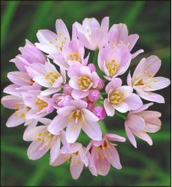 Czosnek różowy - Allium roseum - 20 szt.