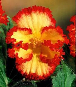 Begonia żółto-czerwona - Marginata Yellow
