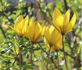 Tulipan Urumiensis