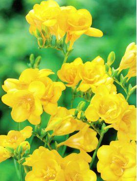 Frezja pełna żółta - Yellow - 10 szt.