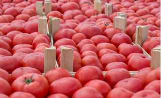 Pomidor Malinowy Kujawski