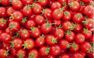 Pomidor Maskotka - koktajlowy, niski - NA TAŚMIE