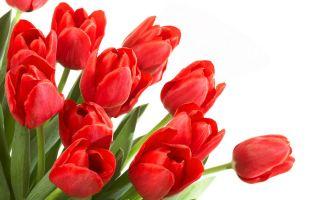 Tulipan czerwony Red - 5 cebulek