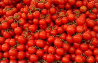 Pomidor Samuraj - gruntowy