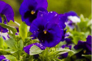 Bratek wielkokwiatowy – niebieski z czarną plamą
