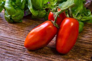 Pomidor gruntowy wysoki S. Marzano 3 - hit w krajach śródziemnomorskich! - 90 nasion