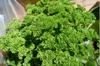 Pietruszka naciowa Mooskrause 2 - kędzierzawa, intensywnie zielona - 1200 nasion