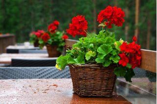 Pelargonia czerwona - 15 nasion