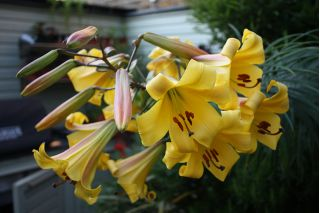 Lilia trąbkowa Golden Splendour - 1 cebula