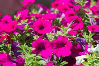 Petunia zwisająca, Surfinia purpurowofioletowa Rubina - 80 nasion