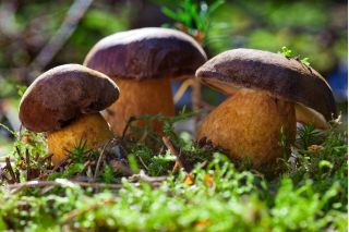 Szczepionka mikoryzowa - jadalne grzyby leśne: borowik szlachetny, podgrzybek brunatny, maślak zwyczajny