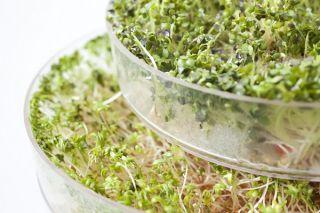 Nasiona na kiełki - Kiełki z dużą ilością witaminy D - Zestaw 3 szt. + Kiełkownica z 3 szalkami