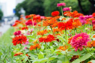 Wesoły ogródek - Cynie, ogrodu gospodynie - Nasiona do uprawy dla dzieci!