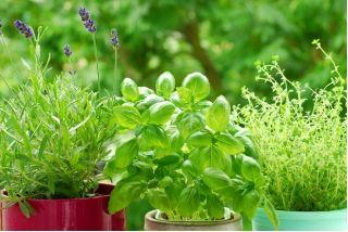 Bazylia właściwa - zielona - 650 nasion