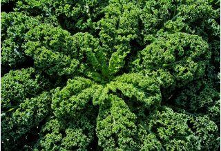 Jarmuż zielony Dwarf Green Curled - 300 nasion