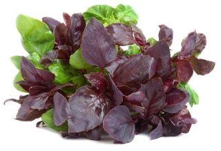 Bazylia czerwonolistna - 325 nasion