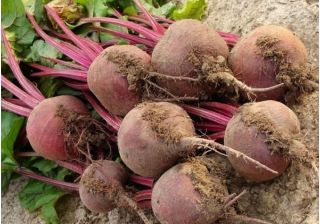 Burak ćwikłowy Czerwona Kula – nasiona otoczkowane - 100 nasion