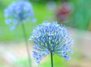 Czosnek błękitny - 5 cebulek